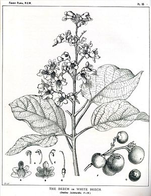 Margaret Flockton - Gmelina leichhardtii Plate 33 from Forest Flora of New South Wales