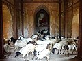 Goats in temple 578 (2).jpg