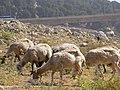 Goats on the trail from Safed to Akbara rock - panoramio.jpg