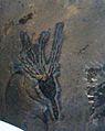 Gogia spiralis 1.jpg