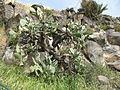 Golan Cacti 0996 (507950113).jpg