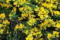 Gold flash broom Genista pilosa (9012056700).jpg