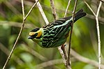 Golden-eared Tanager - Manu NP - Perù 7900 (22954456080).jpg