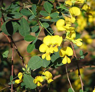 <i>Goodia</i> genus of plants
