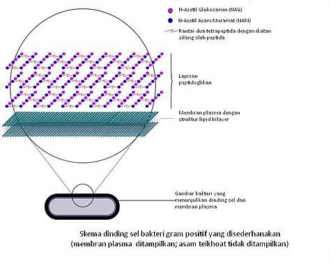 Gram positif wikivisually skema dinding sel bakteri gram positif ccuart Choice Image