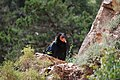 Grand Canyon - kondor - panoramio.jpg