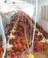 Granja de Pollos Hungju (4).jpg