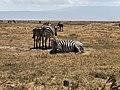 Grant's Zebra in Ngorongoro Crater.jpg