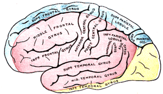 Superior cerebral veins - Outer surface of cerebral hemisphere, showing areas supplied by cerebral arteries. (Superior cerebral veins not labeled, but region drained is roughly equivalent to blue region.)