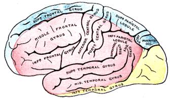 plaque 517 Anatomie de Gray brain.png