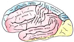hjernen wiki