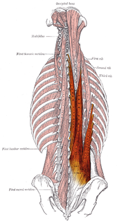 Erector spinae muscles muscle group in humans