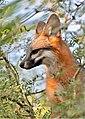 Gray Fox Portrait (42264581930).jpg