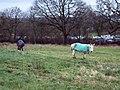 Grazing Donkeys at Semley Common - geograph.org.uk - 314320.jpg