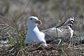 Great Black-Backed Gull (5975057008).jpg