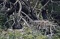 Great Cormorant (Phalacrocorax carbo) in Hyderabad, AP W IMG 5017.jpg