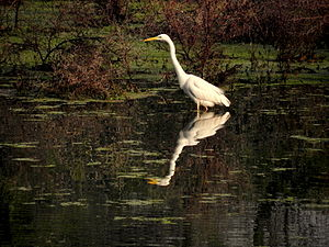 Great Egret at Keoladeo Ghana National Park, Bharatpur, India.jpg