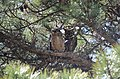 Great Horned Owl Mom with Fledge (13790321914).jpg