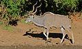 Greater Kudu (Tragelaphus strepsiceros) (6588158569).jpg