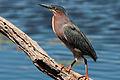 Green Heron (7235503694).jpg
