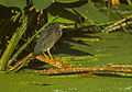 Green Heron - Florida 04 0001 (15225140317).jpg
