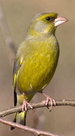 Greenfinch-cropped.jpg