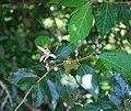Grewia occidentalis 8.jpg
