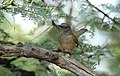 Grey-backed Camaroptera, Camaroptera brachyura, at Pilanesberg National Park, South Africa (15994377541).jpg