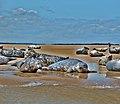 Grey seals, Stiffkey, Norfolk.jpg