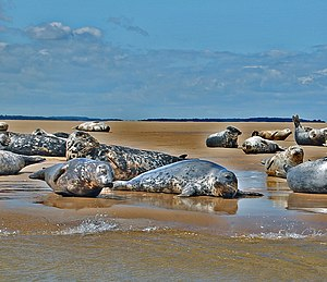Grey seal - Group of grey seals on sands at Stiffkey, Norfolk