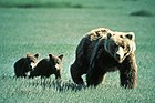 Grizzly Bear Family in Glacier National Park.jpg