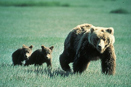 Family of bears in Glacier National Park, Montana, United States Grizzly Bear Family in Glacier National Park.jpg