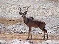Großer Kudu im Etosha-Nationalpark, Namibia.jpg