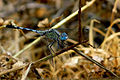 Ground Skimmer Diplacodes trivialis Young Male by kadavoor.JPG