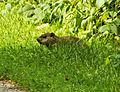 Groundpig Watching (14567174218).jpg