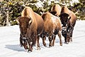 Group of bison on the road in winter (79a8e0ae-8efc-4aac-9c7a-7923b6af73b1).jpg