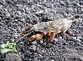 Gryllotalpa gryllotalpa on the ground 1.jpg