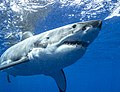 Guadalupe Island Great White Shark Underwater Tourism.jpg