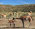 Guanaco herd near Torres del Paine National Park (5484370596).jpg