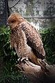 Haliastur sphenurus -Featherdale Wildlife Park, Doonside, Sydney, Australia-8.jpg