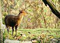 Hannover, Zoo, Muntjak.jpg