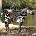 Hartmann-Bergzebra Tierpark Hellabrunn-12.jpg