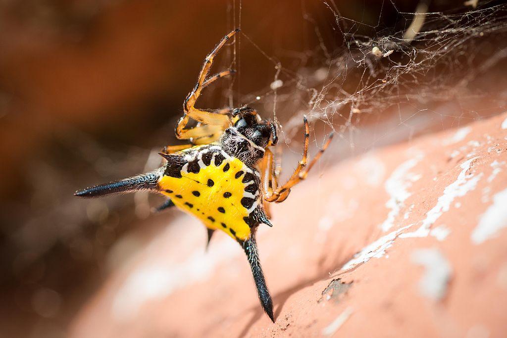 Hasselt's spiny spider, gasteracantha hasselti - Kaeng Krachan National Park.jpg