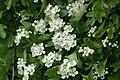 Hawthorn (Crataegus monogyna) blossom, Norwick - geograph.org.uk - 1330711.jpg