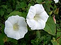 Hedge Bindweed, Pits Wood - geograph.org.uk - 887885.jpg