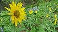 Helianthella uniflora var. douglasii 4.jpg