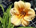 Hemerocallis Carefree Peach 0zz.jpg