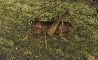 <i>Hemiandrus pallitarsis</i> species of insect