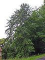 Hemlocktanne, 4.jpg