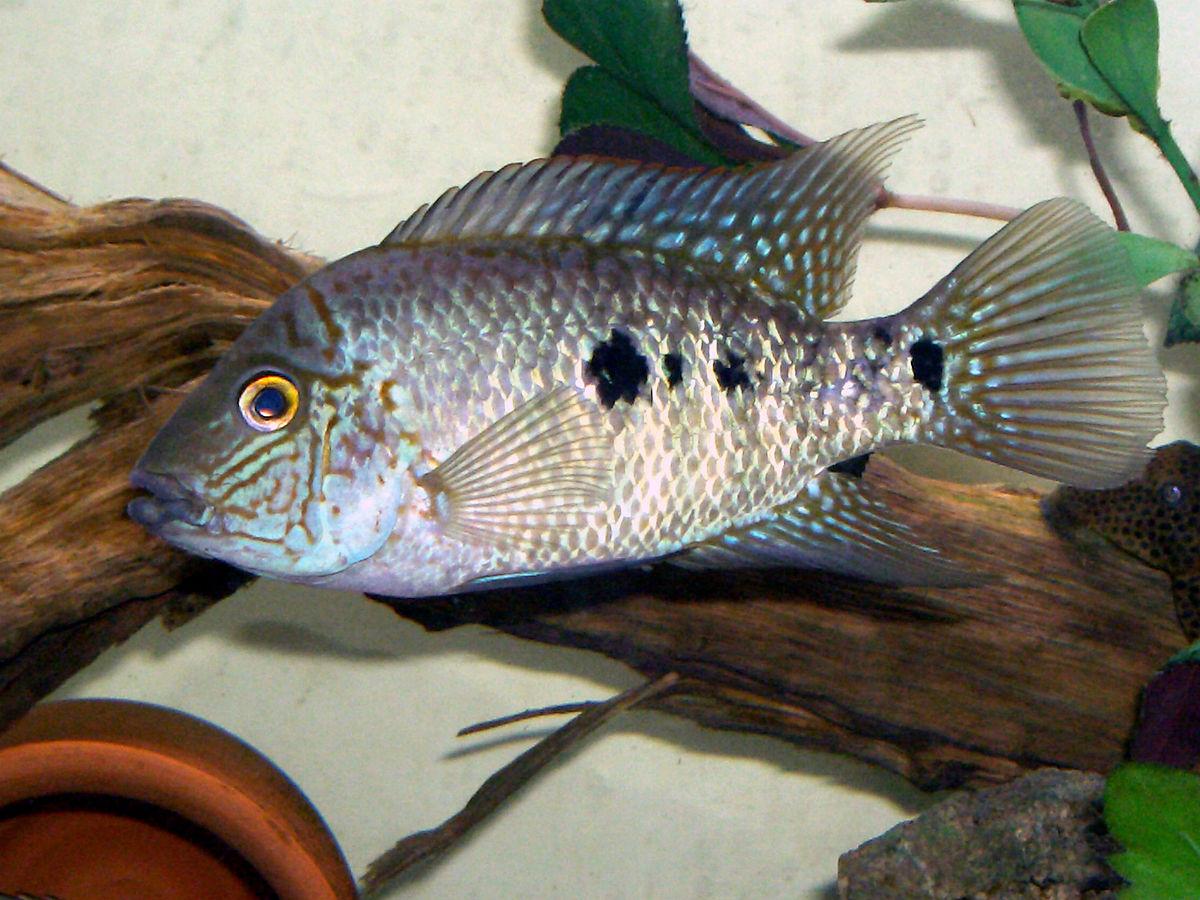 Картинки по запросу Herichthys tepehua